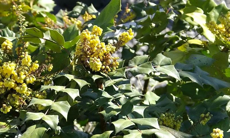 cvatuci grmovi