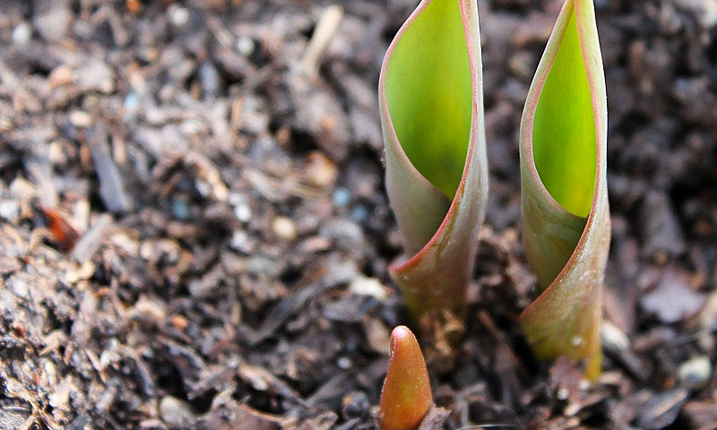 kako saditi lukovice