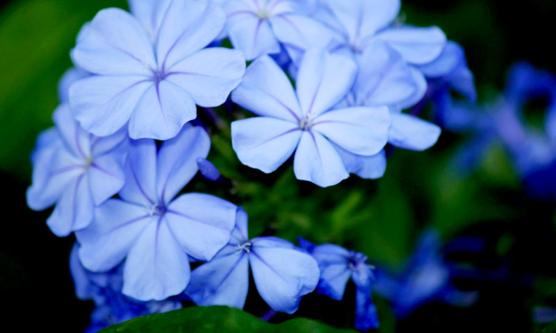 plavi jasmin