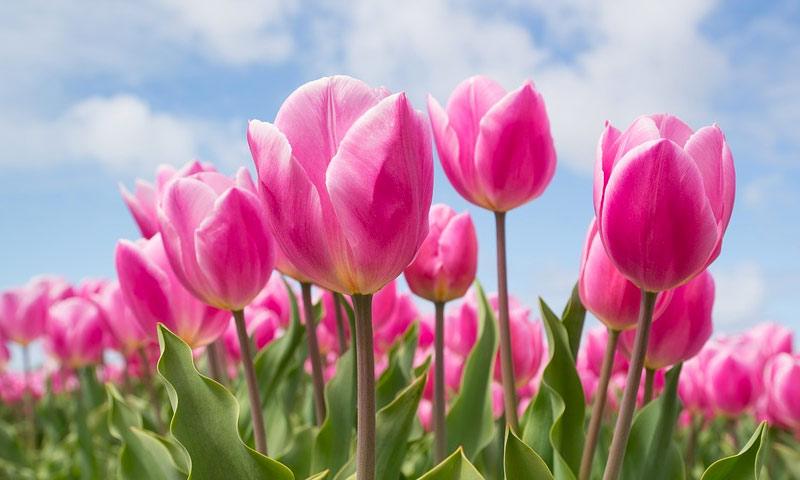 tulipani sadnja